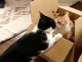 Cat fight over a box
