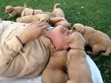 6 week old golden retrievers playing and tackling