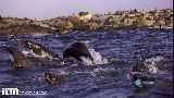 Shark attack in slow motion, a fake seal was used
