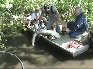 Gator Hunt 600 LBS (Aligator Was Attacking People)