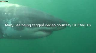 Great white shark's epic ocean trek deadliest catch got nothing on these people