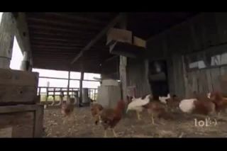 Chickens to be infamous