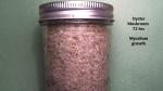 Oyster Mushroom Mycelium Growth 72 hrs