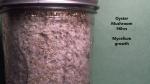 Oyster Mushroom Mycelium Growth 96 hrs-1