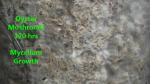 Oyster Mushroom Mycelium Growth 120 hrs-2