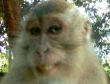 Milk_Drinking_Monkey