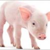 Pork_Chop